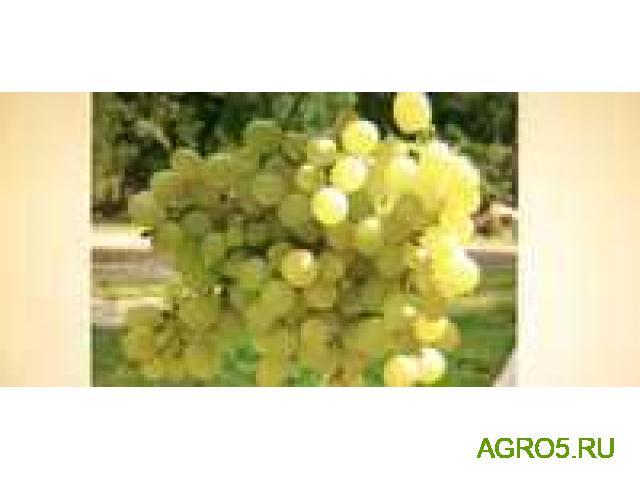 Виноград в Серпухове