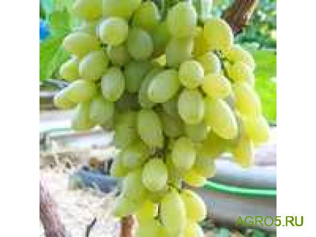 Виноград в Белой Калитве