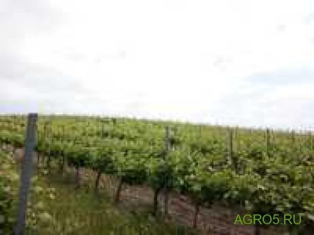Виноград в Новороссийске