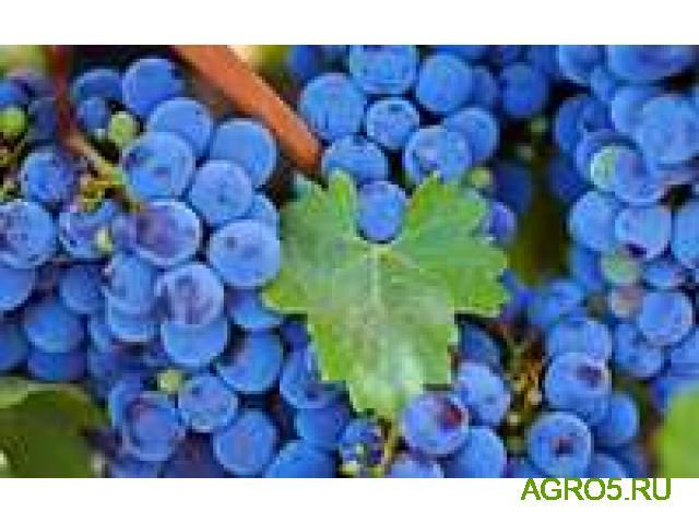 Виноград в Астрахане