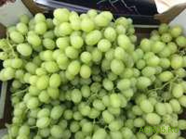 Виноград в Гусе-Хрустальном