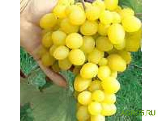 Виноград в Люберцах