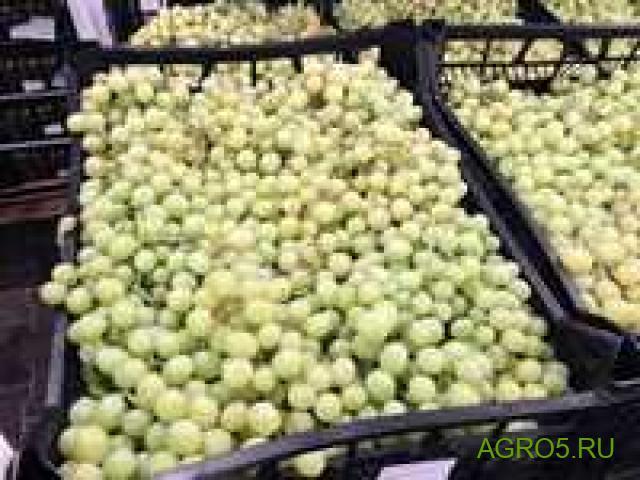 Виноград в Ахтубинске