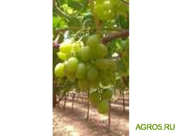 Виноград в Быково