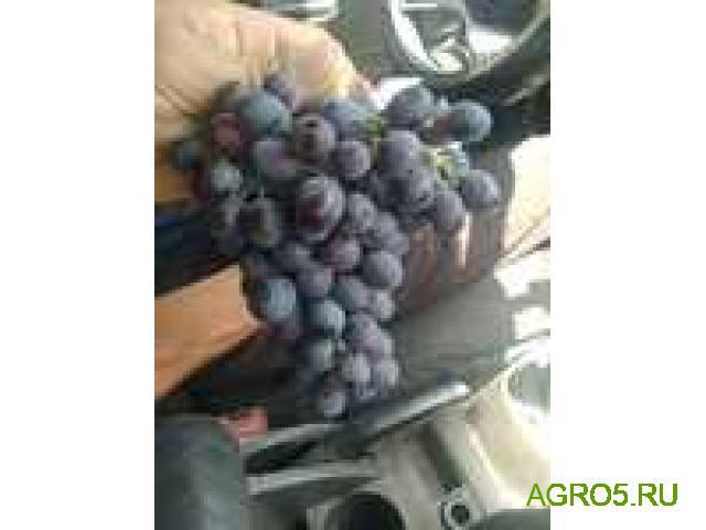Виноград в Екатеринбурге