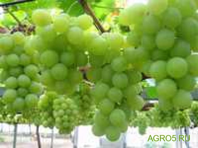 Виноград в Таганроге