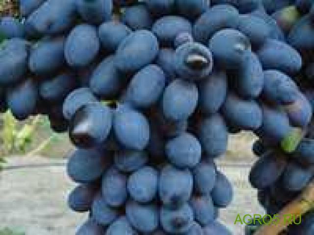 Виноград в Москве