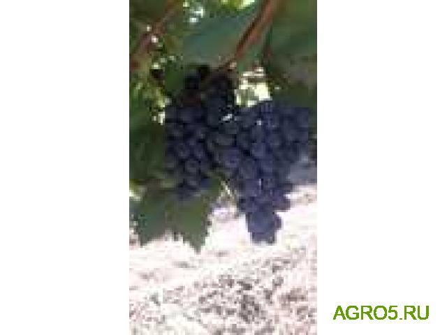 Виноград в Курске