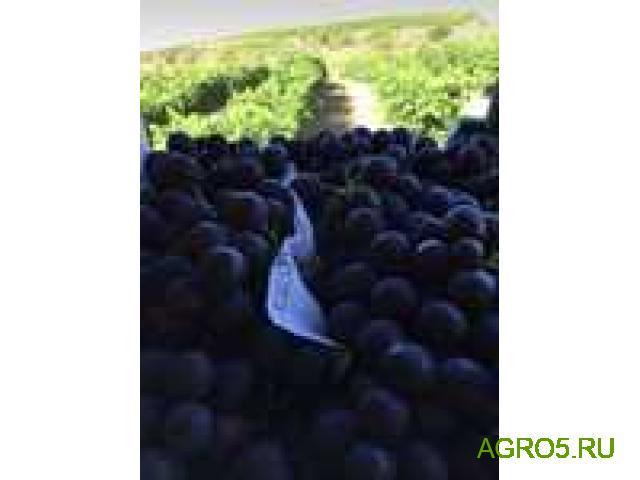 Виноград в Тюмене