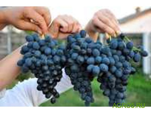 Виноград в Перми