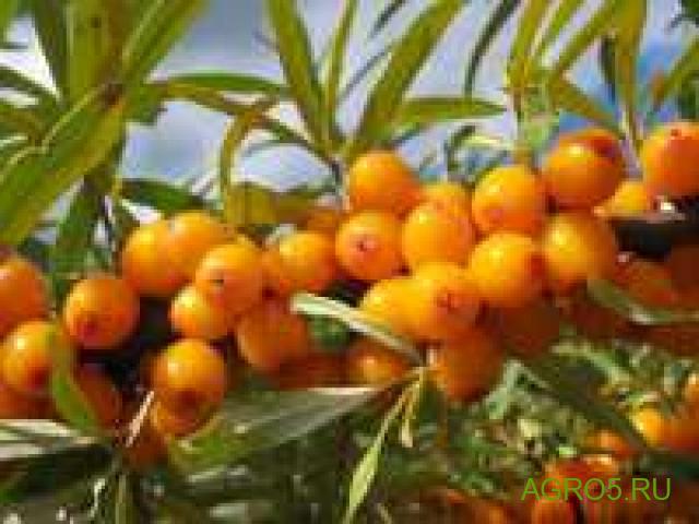 Плоды облепиха