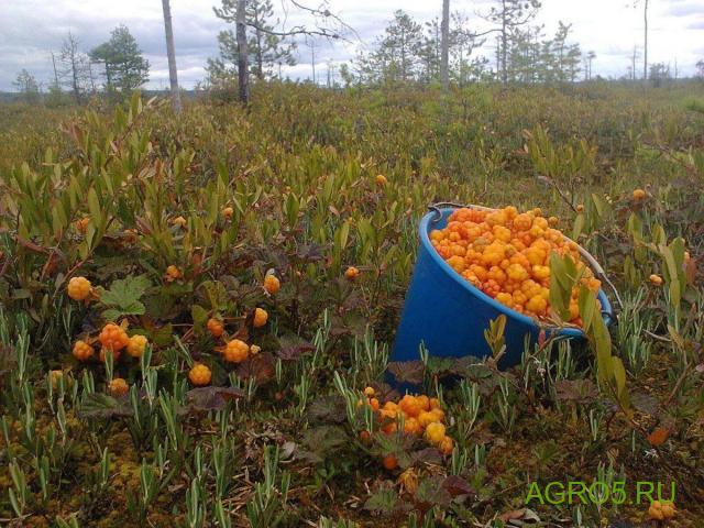 Морошка новый урожай