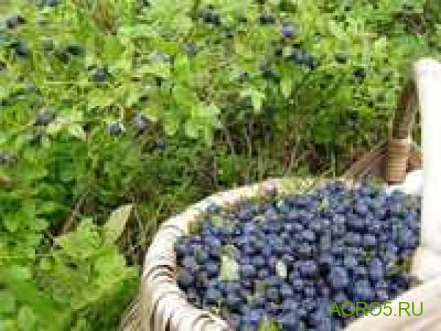 Черника новый урожай