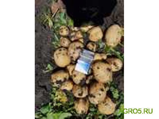 Картофель оптом. Урожай 2020. Краснодарский край