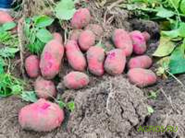 Картофель из-под комбайна с поля 5000 тонн Подмосковье
