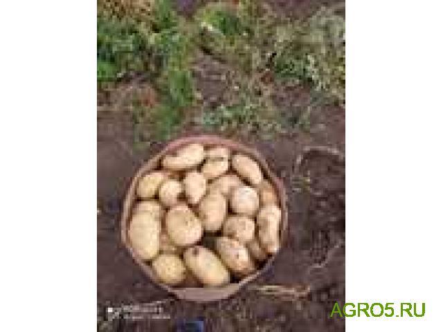Картофель свежий, Азербайджан