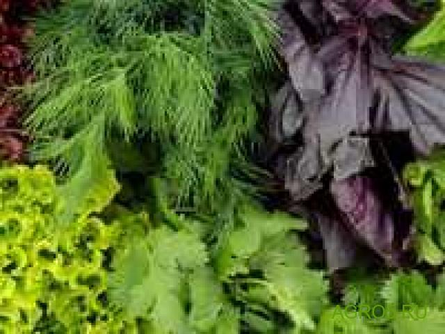 Зелень укроп, петрушка, лук