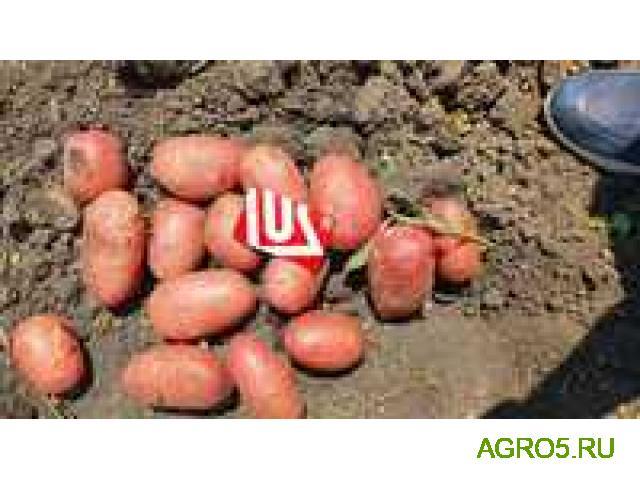 Картофель молодой, урожай 2020