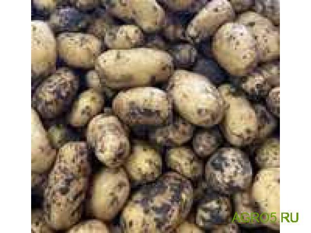 Молодой картофель Сорт коломбо