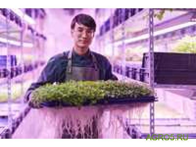 Микрозелень оптом от производителя