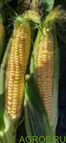 Сахарная кукуруза в Истре