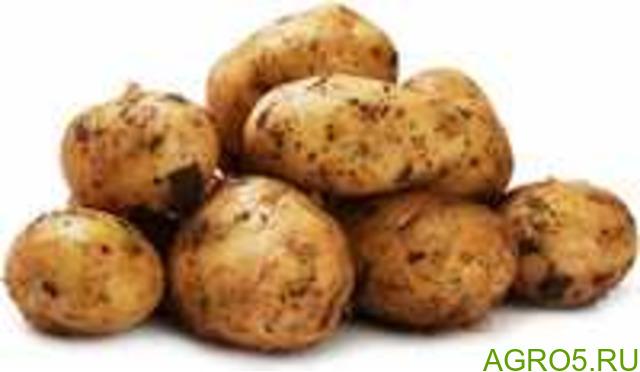 Картофель в Серафимовиче
