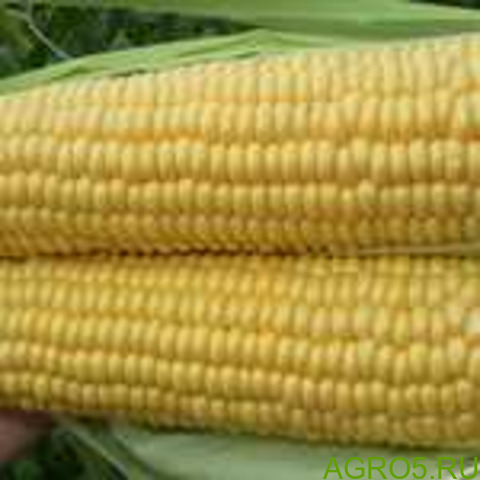 Сахарная кукуруза в Ипатово