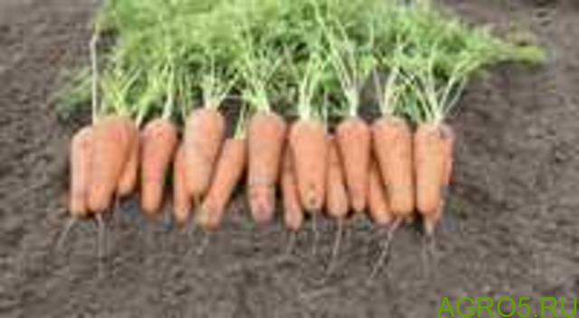 Морковь в Пскове