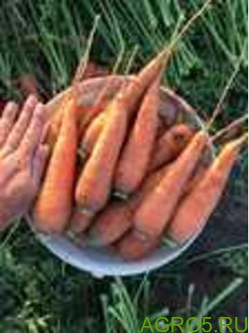 Морковь в Михайлове