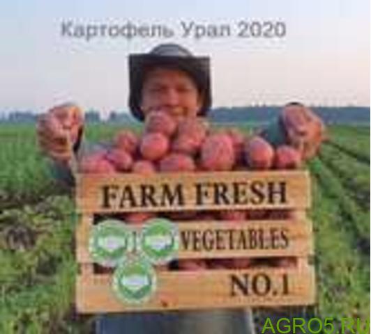 Картофель в Энгельсе