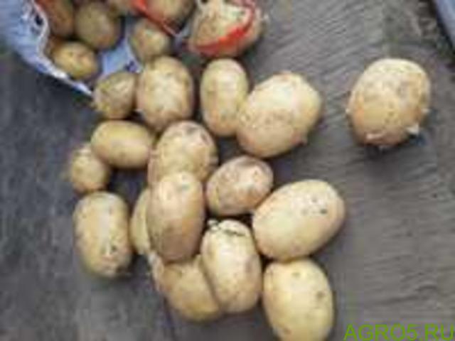Картофель в Королеве