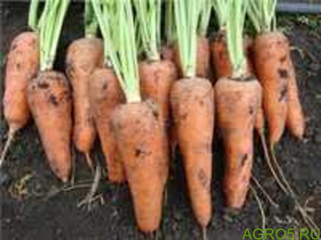 Морковь в Крымске