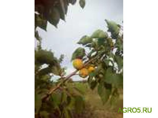 ОТБОРНЫЙ абрикос Юбилейный