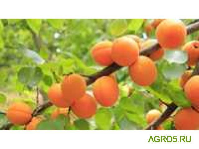 свежий абрикос сорт Юбилейный (лимонка)