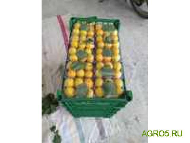 свежий абрикос Юбилейный (лимонка)