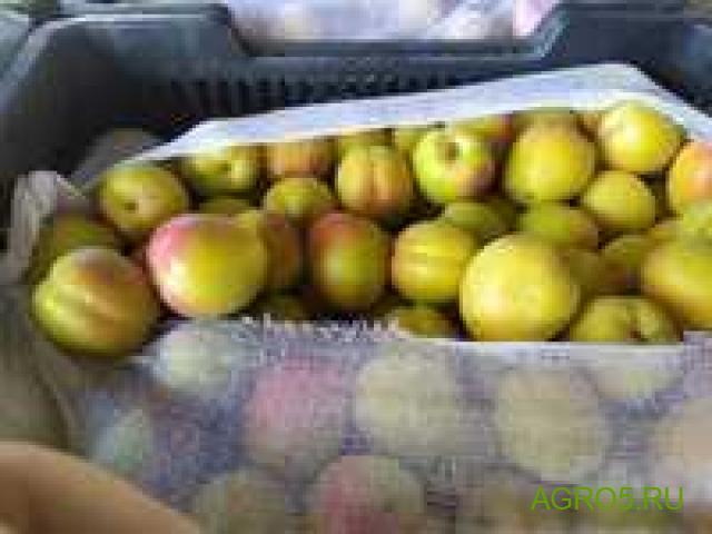Продам абрикос сорт шалох