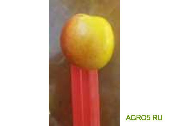 Экспорт абрикос