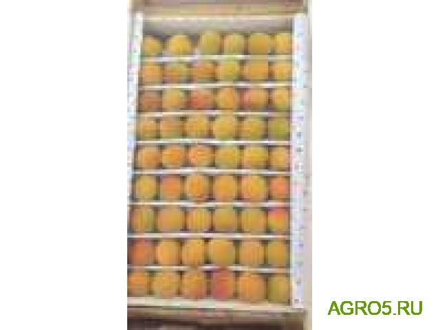 Экспорт абрикос сорт шалох