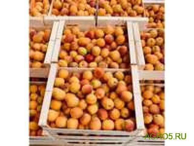 Экспорт абрикос Юбилейный