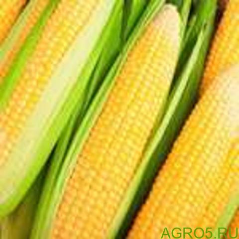 Сахарная кукуруза в Астрахане