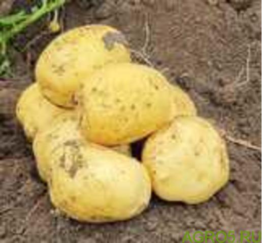 Картофель в Ярославле