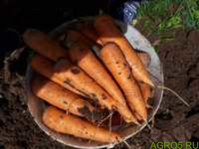 Морковь в Москве