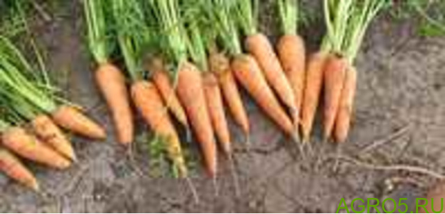 Морковь в Барнауле
