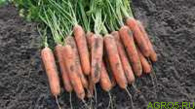 Морковь в Зеленограде