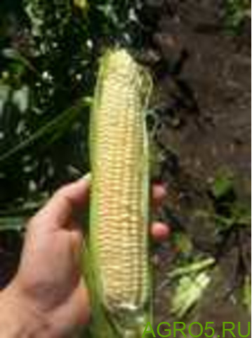 Сахарная кукуруза в Кургане