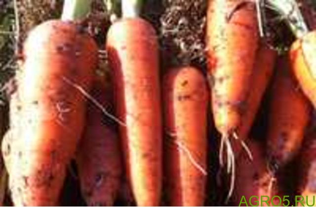 Морковь в Астрахане
