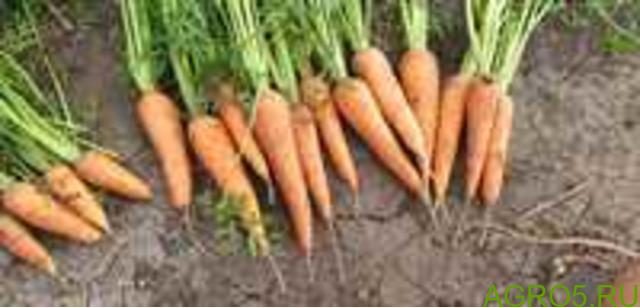 Морковь в Кургане
