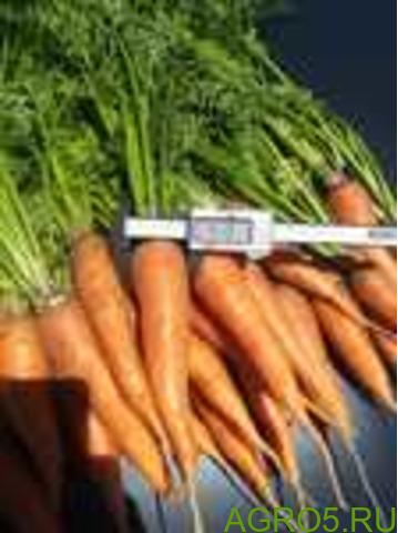 Морковь в Грозном