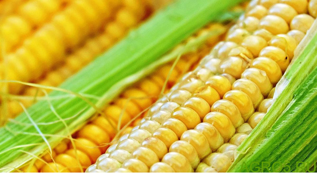 Сахарная кукуруза в Ставрополе
