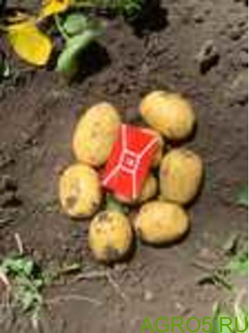 Картофель в Кропоткине